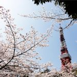 The tower and cherry blossoms
